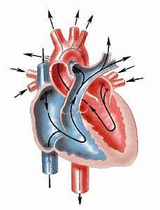 Human Heart Diagram Unlabeled