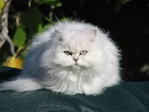chinchilla cat | Chinchilla Longhair Cat | Fun Animals ...
