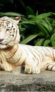 Photos: Omar, Singapore Zoo's white tiger, dies after ...