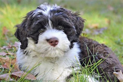 portuguese water dog that dont shed dog breeds picture