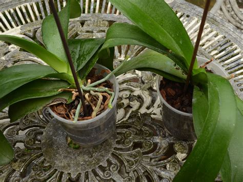 repotting orchids with roots how to repot an orchid 14 steps with pictures wikihow