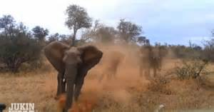 video angry elephant stampedes tourists ny daily news