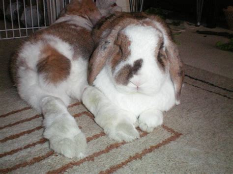 lop rabbit fuzzy lop rabbit www imgkid com the image kid has it