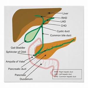 Diagram Of The Human Biliary System Bile Duct Poster
