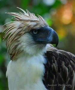 Birds: Philippine Eagle  Philippine