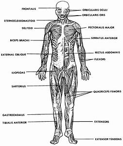 Muscular System Diagram Labeled And Worksheet