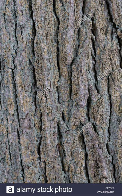 English Oak, Bark, Rind, Stieleiche, Stieleiche, Eiche