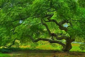 Threadleaf Japanese Maple Tree in Summer Fine Art Landscape