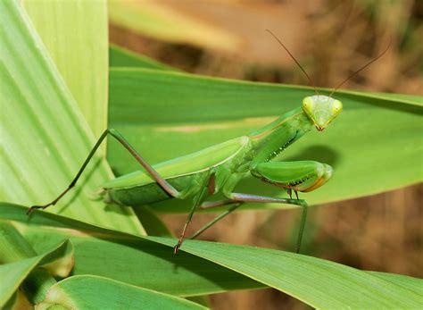 Princeton Landing News Nature Guide Praying Mantis