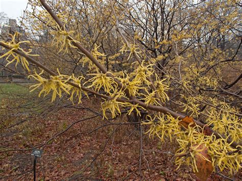 witch hazell witch hazel uses and home remedies efoodsdirect blog