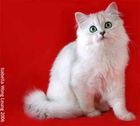 longhaired burmilla breed cat pictures information