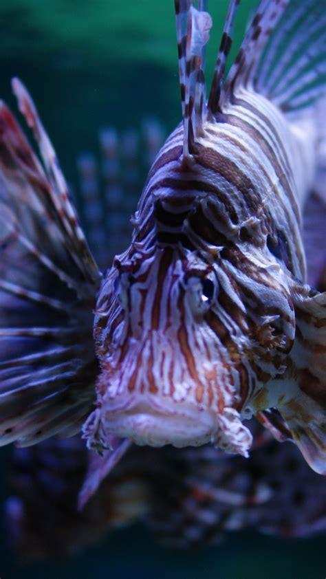 wallpaper lionfish   wallpaper budapest