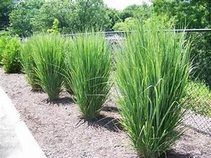 best 25 perennial grasses ideas