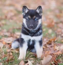 German Shepherd Husky Mix Puppy for Sale