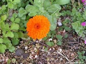 souci calendula officinalis allee fleurie With commenter obtenir les couleurs 11 semis des choux fleurs