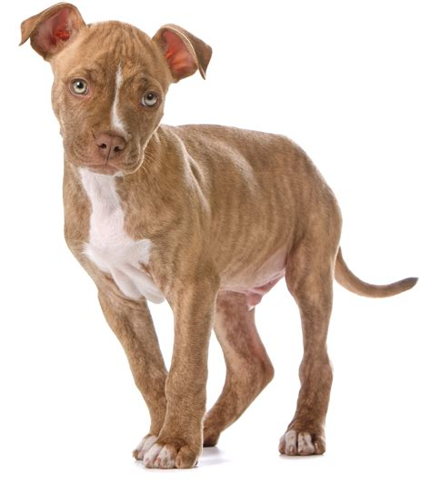 Red Nose Pitbull Dogs
