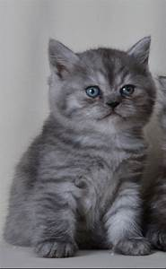 Helmut, british shorthair kitten, Black silver Mackerel ...