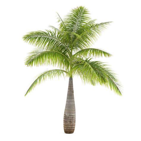 palm tree l palm tree isolated hyophorbe lagenicaulis stock illustration illustration of branch growth
