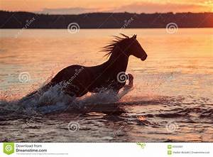 Black Horse Galloping In Water At Sunset Stock Image ...
