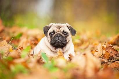 Pug Autumn Animals Dog Puppy 4k Wallpapers
