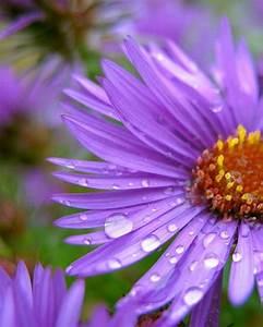 purple Aster flowers with rain drops | Tattoos | Pinterest