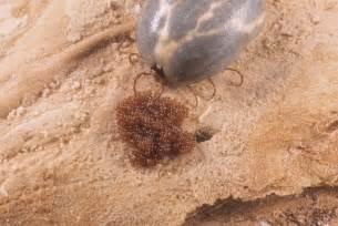 Female Lone Star Tick Lyme Disease