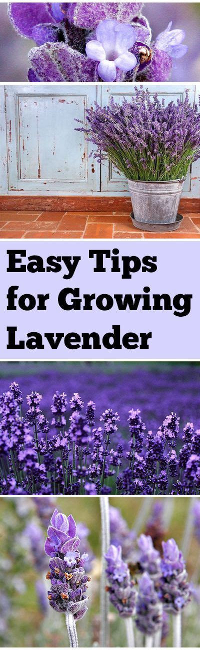 does lavender grow in florida easy tips for growing lavender gardening and landscape pinterest growing lavender