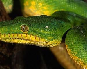 Yellow Green Snake Widescreen Hd Resolution 1920x1080