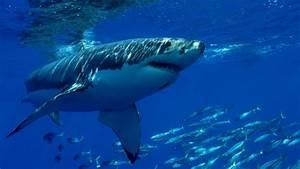 Shark Facts U2022 Interesting Information U0026 Facts About Sharks