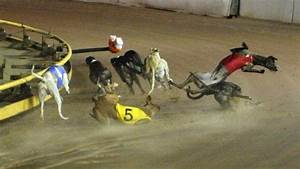 Underdogs: the sad fate of greyhounds