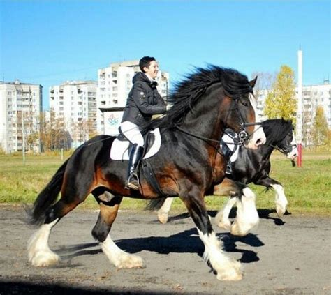 horse draft horses shire ride pretty clydesdale pulling visit beer much sign log animals