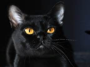 cat for price bombay cat prices about animals