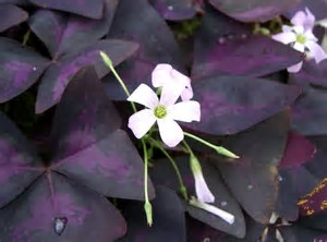Image result for oxalis