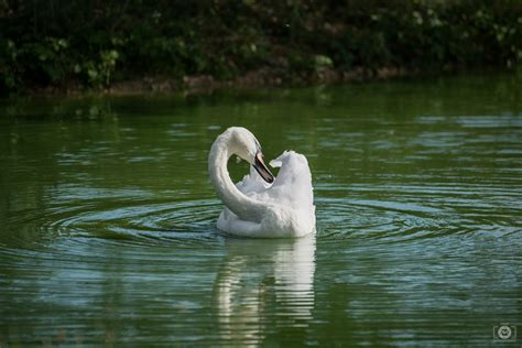 beautiful swan swimming  lake background high quality
