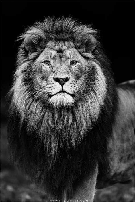 Beautiful! | Lion pictures, Lion painting