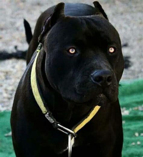 eyes beautiful badass dogs dogs pit bulls pit