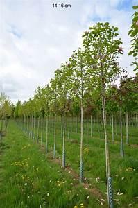 Großen Apfelbaum Kaufen : tulpenmagnolie als gro en baum hochstamm kaufen ~ Lizthompson.info Haus und Dekorationen