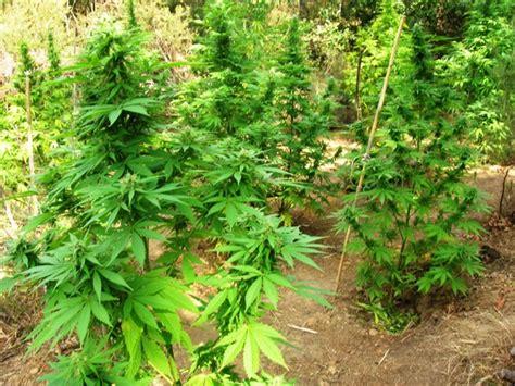 canapé artic capraia e limite coltivava canapa indiana nel bosco di