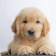 Cute Golden Retriever Puppies Names