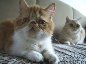 munchkin cat for munchkin cat personality care pictures and