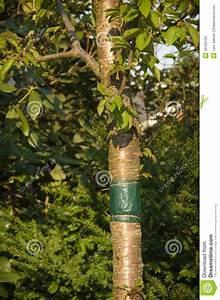 Achat Tronc Arbre Decoratif : collez la bande attach e autour du tronc d 39 un arbre photo ~ Zukunftsfamilie.com Idées de Décoration