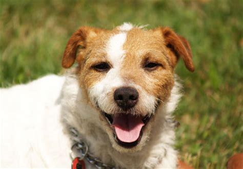 hunderassen jack russell terrier russell terrier akc