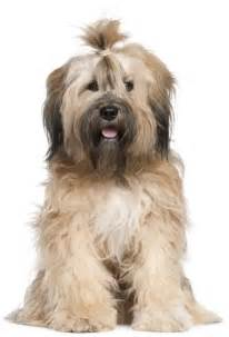 top 30 dogs that don 39 t shed small medium and large breeds pet territory