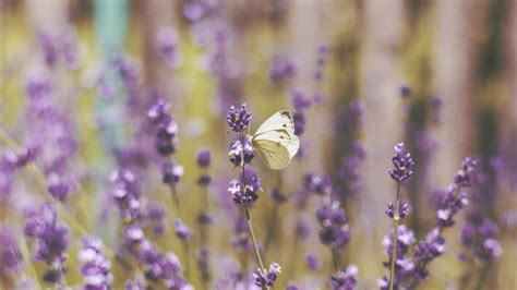 Lavender And Butterflies Wallpapers - Wallpaper Cave