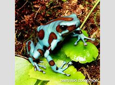 Dart Frog Connection Dendrobates Auratus Green & Bronze