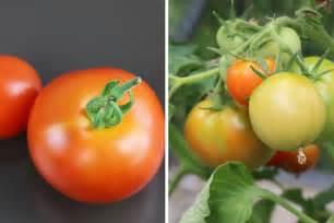 Wie Lange Halten Tomaten Im Kühlschrank by Welche Temperaturen Vertragen Tomaten Wie Lange Bleiben