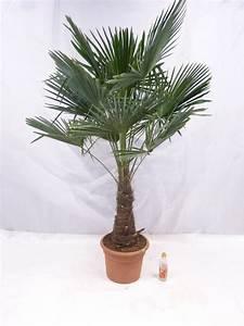 Trachycarpus Fortunei Auspflanzen : winterharte palme trachycarpus fortunei chinesische hanfpalme 180 cm stamm 60 cm ~ Eleganceandgraceweddings.com Haus und Dekorationen