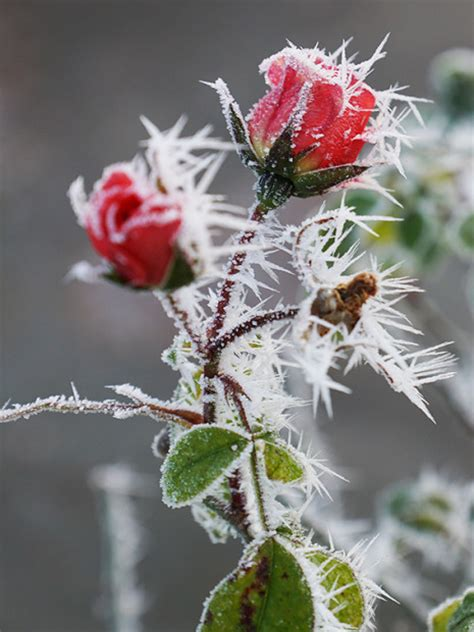 im winter blühende blumen prinzessin fotos aus der view fotocommunity