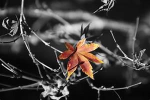 Herbst Schwarz Weiß : kostenlose foto schwarz wei blume abstrakt blumenhintergrund blatt flora ahornblatt ~ Orissabook.com Haus und Dekorationen