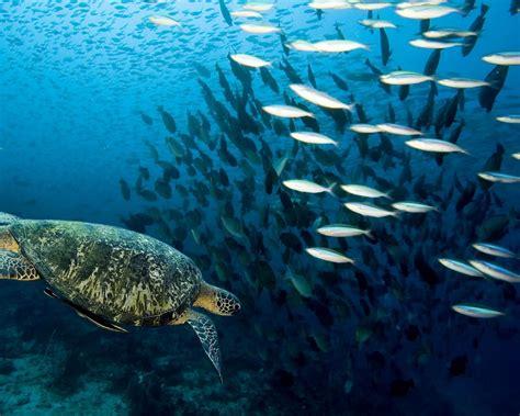 fondo de pantalla tortuga  peces  fondo de